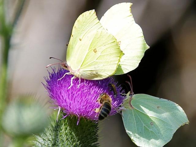 Zwie Falter un eine Biene auf einer Blume