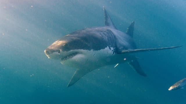 Ein Weisser Hai
