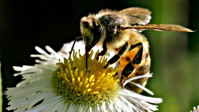 Eine europäische Honigbiene saugt Nektar aus einem Gänseblümchen.