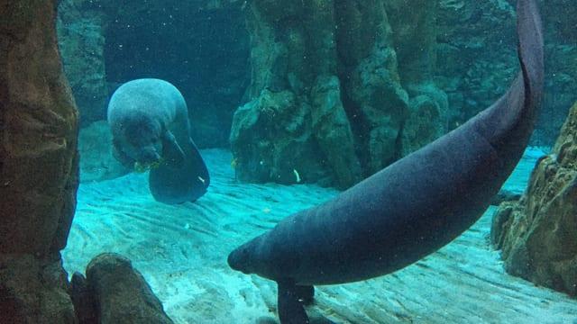 Robben im Aquarium