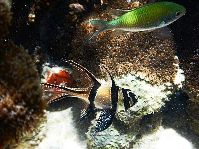 Freilebende Banggai-Kardinalfische in ihrem natürlichen Biotop.
