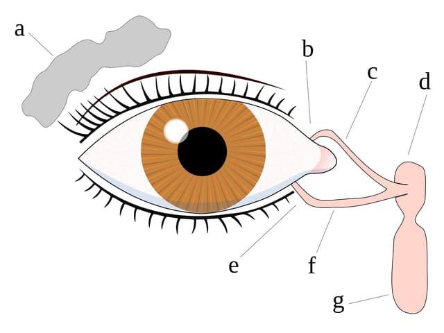 Grafik Auge mit Tränendrüse.