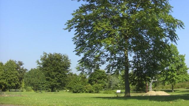 Alleinstehender Baum bei schönem Wetter auf einer Wiese, im Hintergrund weitere Bäume.