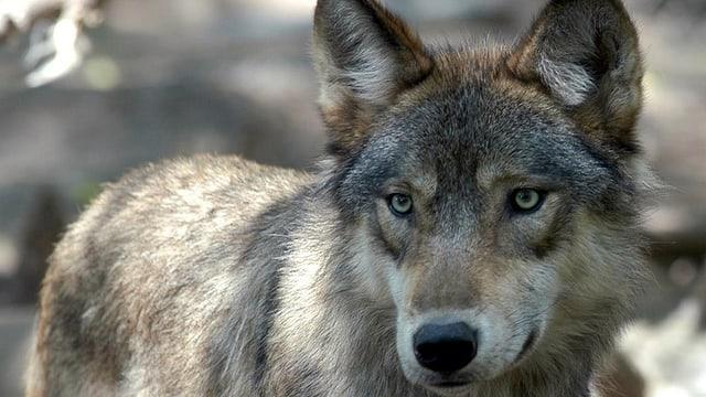 Wallis will Wolf aus dem Goms weghaben - das Bafu erlaubt es nicht.