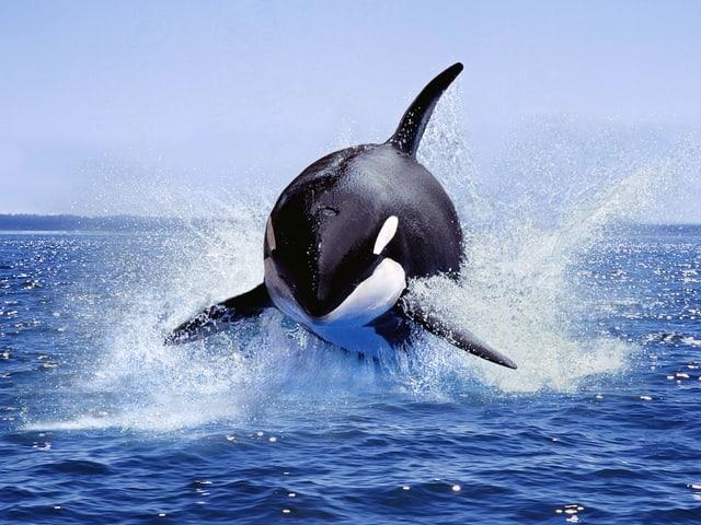 Springender Schwertwal