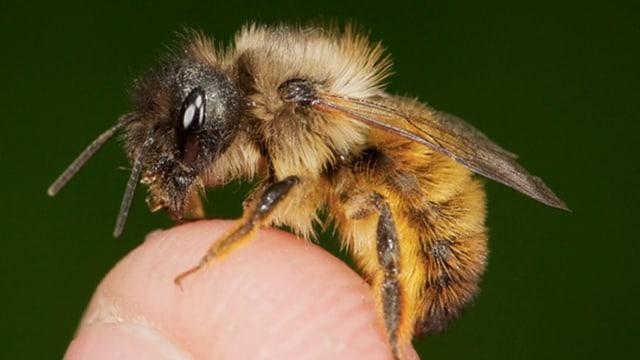 Eine Biene auf einem Finger.