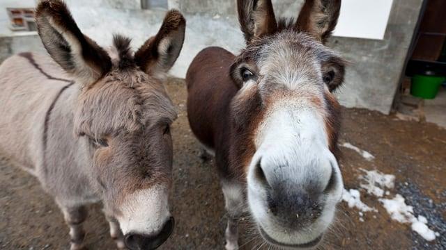 Zwei Esel schauen in die Kamera.