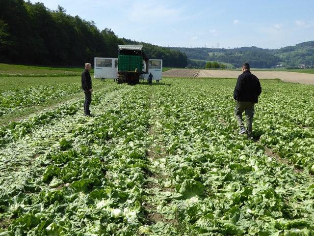 Zwei Bauern stehen auf einem grossen Salatfeld.
