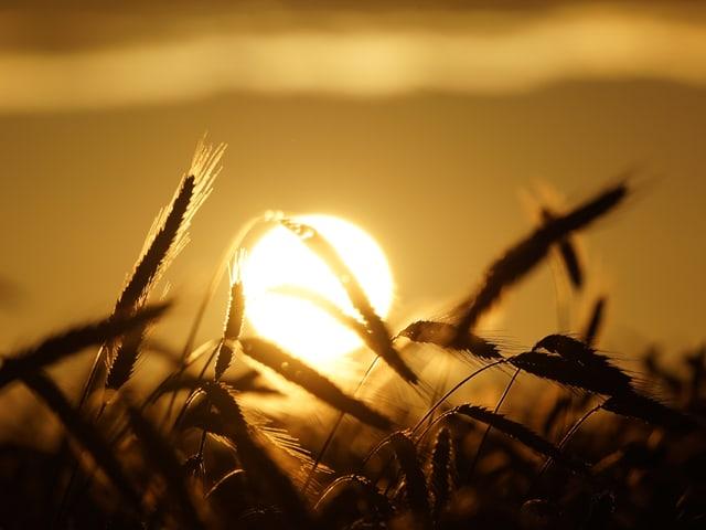 Weizenähren werden von der untergehenden Sonne beleuchtet.