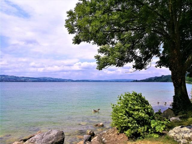 Ein Baum am Ufer des Sees, Ente schwimmen im Wasser, der See schimmert  türkisblau, am Himmel sind noch viele Wolken vorhanden..