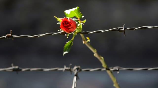 Rose an Stacheldraht. Symbolbild