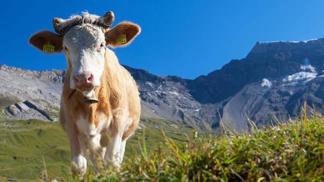 Kuh auf Schweizer Alp.