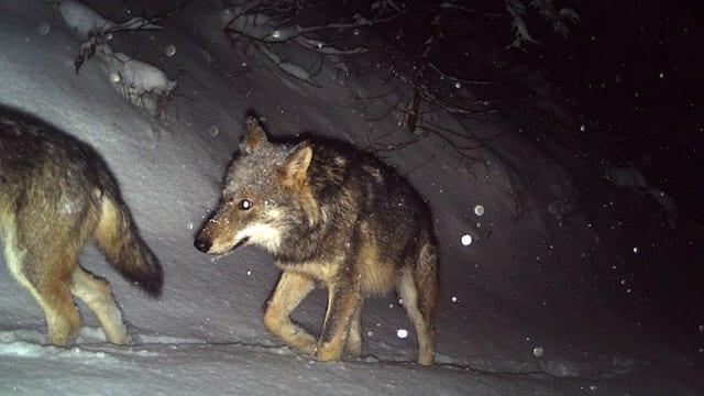 Wolf am Calanda