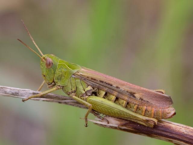 Eine hellgrün-braune Heuschrecke mit länglichem Körper, zusammengeklappten beinen und kurzen Fühlern sitzt auf einem vertrockneten Grashalm