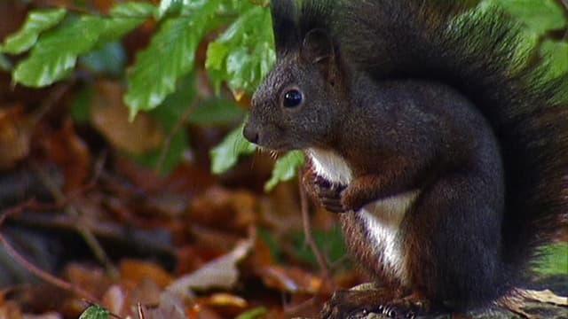 Video «NETZ NATUR «Kampf ums Eichhörnchen» (Schweizerdeutsch)» abspielen