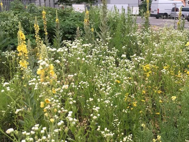 Feuchtes und warmes Wetter: Idealbedingungen für die Pflanzen auf der Brache.