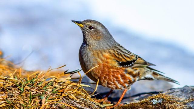 Ein rötlicher-grauer Vogel in einer Berglandschaft.