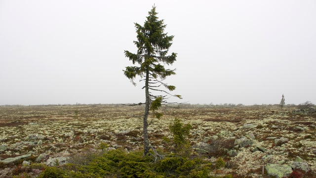 Der älteste Baum der Welt.