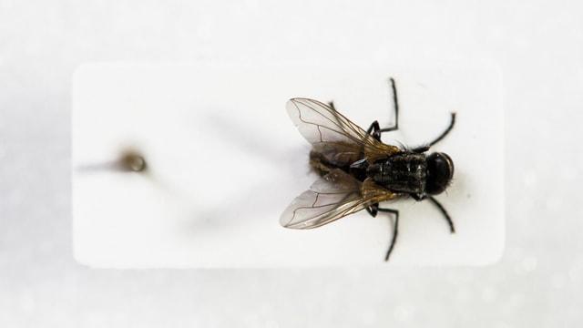 Die Fliege Erika in der Vitrina.