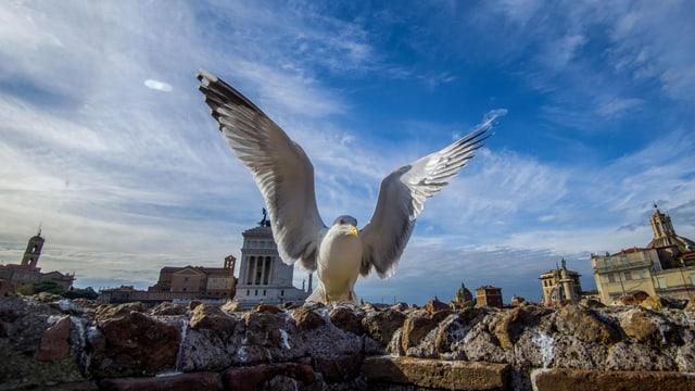 Möwe in Rom