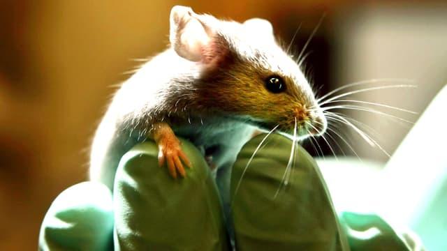 Eine Maus sitzt auf einer Hand, die grüne Laborhandschuhe trägt