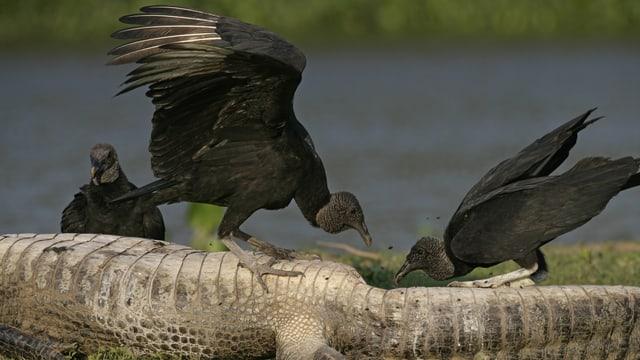 Rabengeier in Brasilien fressen die Überreste eines Kaimans.