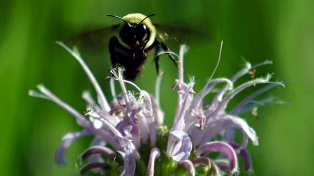 Eine Biene im Anflug auf eine geöffnete Blüte mit violetten Blättern