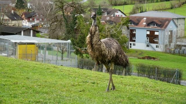 Emu auf Wiese