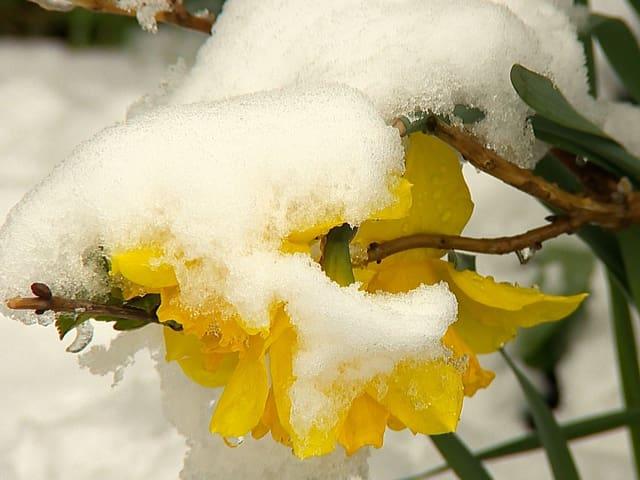 Schnee auf einer gelben Blume