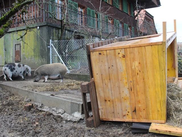 Umbekippter Stall von zwei Schweinen.