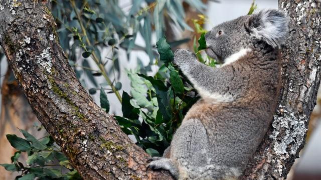 Ein Koalabär sitzt im Baum und frisst Eukalyptus.