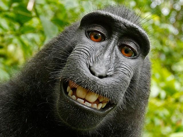 Ein Affe – ein Schopfmakaken-Weibchen, um genau zu sein – grinst frech in die Kamera.