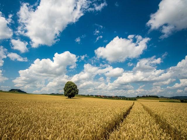 Kornfeld mit einem einzelnen Baum in der Mitte unter leicht bewölktem Himmel.