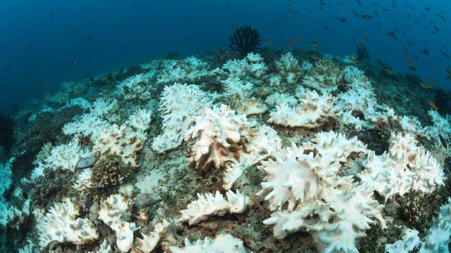 Weisse Korallen auf einem Riff.