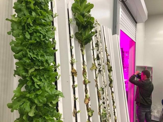 Salat wächst vermeintlich aus Wand.