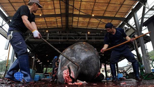 Japaner schlitzen toten Wal auf