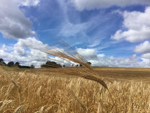Im Vordergrund ein goldenes Kornfeld. Der Himmel ist blau mit Quellwolken.