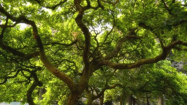 Ein grosser, knorriger Baum von unten fotografiert.