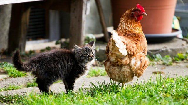Eine Katze steht neben einem Huhn.