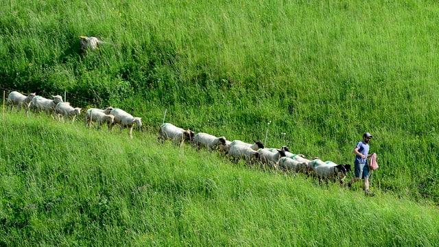 Schafe gehen auf einer Wiese hinter einem Mann her.
