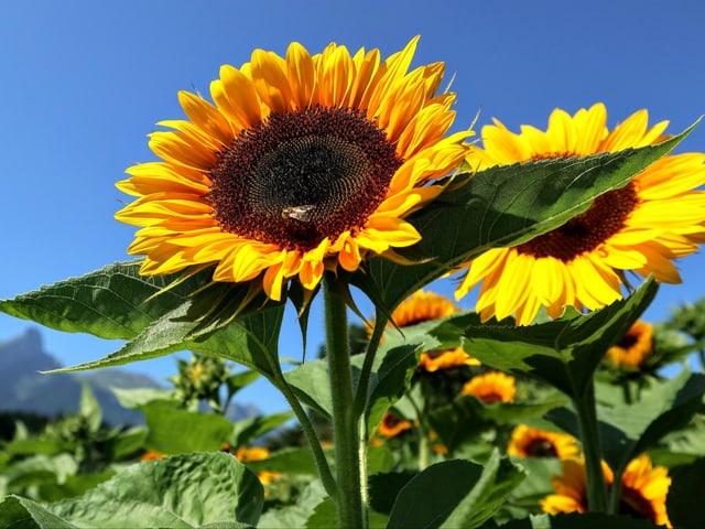 Viele Sonneblumen bei strahlend sonnigem Wetter.