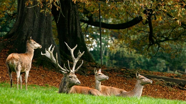 Hirschfamilie im Gras