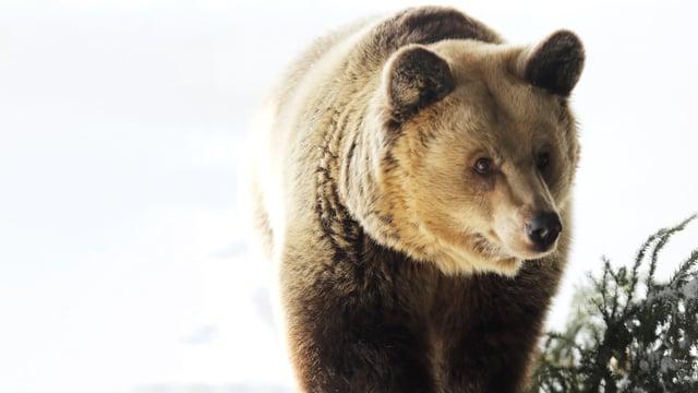 ein Bär im Schnee