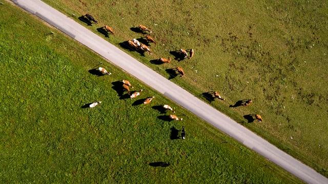 Das Bild ist eine Drohnenaufnahme und zeigt eine Kuhherde.