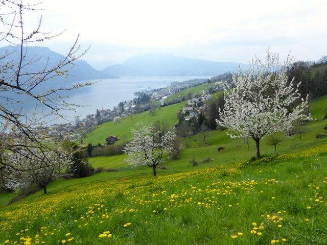 Löwenzahn und Kirschbaumblüte sorgten oberhalb von Weggis für Frühlingsgefühle.
