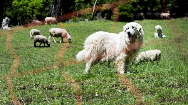Herdenschutz-Hund