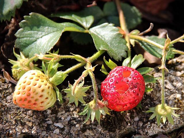 Erdbeeren, noch weiss und eine Frucht bereis hellrot und angefressen.