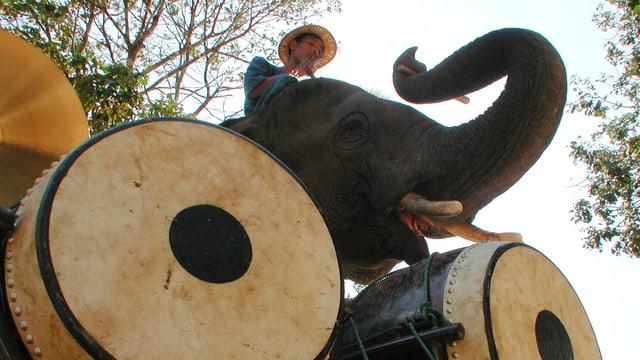 Elefant schlägt mit seinen Rüssel die Trommel.