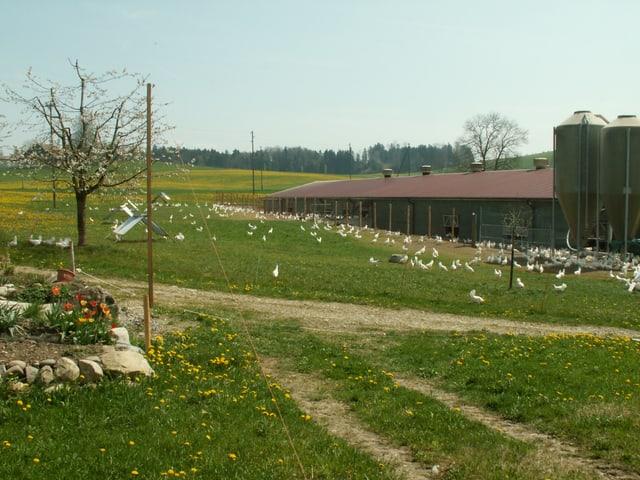 Idylle in Buttisholz, Kanton Luzern. Die 8000 Hühner können bei schönem Wetter immer nach draussen.