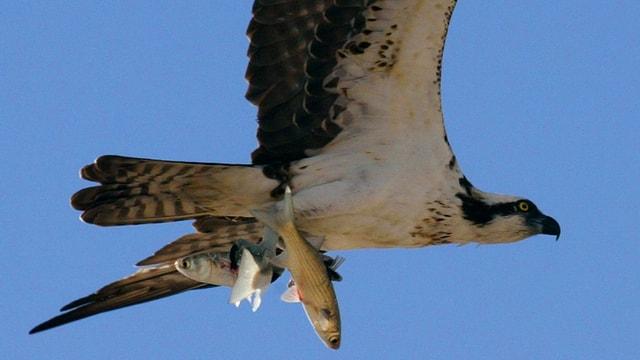Fliegender Fischadler mit zwei Fischen in den Krallen.